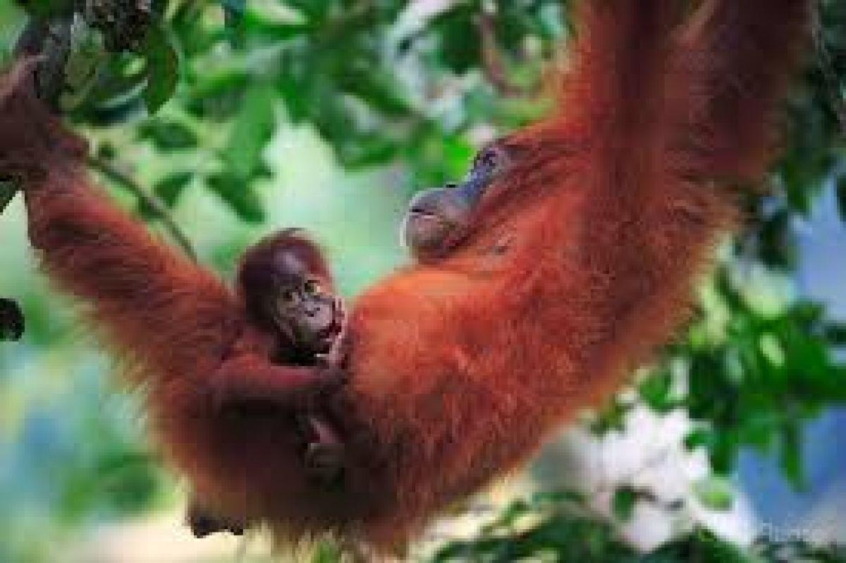 Image Indonésie Sauvage et culturelle -  Orang Outans Sumatra, trésors de Java et Bali  entre temples, volcans,  rizières - croisière parc de  Komodo